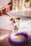 Mały psi traken Jack Russell Terrier z podbitym okiem w domu Zdjęcia Royalty Free