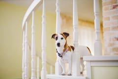 Mały psi traken Jack Russell Terrier z podbitym okiem w domu Obrazy Stock
