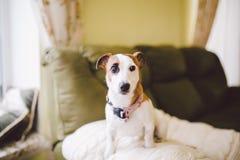 Mały psi traken Jack Russell Terrier z podbitym okiem w domu Obraz Stock