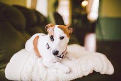 Mały psi traken Jack Russell Terrier z podbitym okiem w domu Obraz Royalty Free