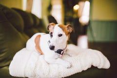 Mały psi traken Jack Russell Terrier z podbitym okiem w domu Fotografia Royalty Free