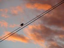Mały ptak na elektrycznych drutach Obraz Stock