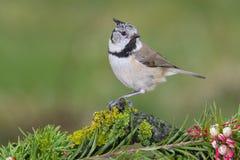 Mały ptasi Lophophanes cristatus w przyrodzie Obraz Royalty Free