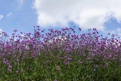 Mały purpurowy verbena Obrazy Stock