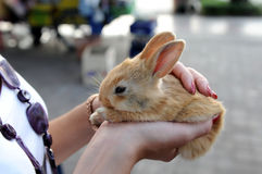 mały puszysty królik Zdjęcie Royalty Free