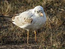 Mały seagull w trawie zdjęcia stock