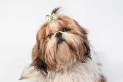 Mały Shih-tzu psa portret - odosobniony Obraz Stock