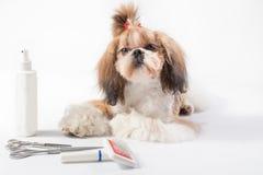 Mały Shih-tzu szczeniak z topknot Obraz Royalty Free