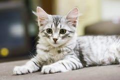 Mały srebny kot, siberian traken Obraz Stock