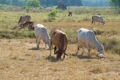 Mały stado krowy pasa na polu Otoczenia Sukhothai, Tajlandia Fotografia Royalty Free