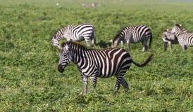 Mały stado zebry w NgoroNgoro kraterze Tanzania, Afryka Zdjęcia Stock