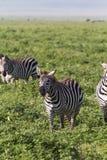 Mały stado zebry w NgoroNgoro kraterze Tanzania, Eastest Afryka Fotografia Stock