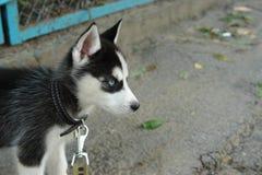 Mały szczeniak husky na drodze Fotografia Stock