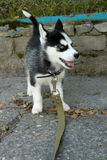 Mały szczeniak husky na drodze Obraz Royalty Free