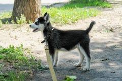 Mały szczeniak husky na drodze Zdjęcia Stock