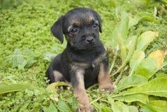 Mały szczeniak Rabatowego Terrier traken Zdjęcie Stock