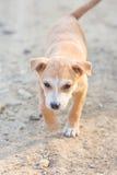 Mały szczeniaka psa portreta odprowadzenie Zdjęcia Stock