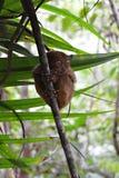 Mały Tarsier na wyspie Bohol w Filipiny Fotografia Stock