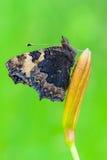 mały tortoiseshell Fotografia Royalty Free