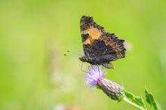 Mały tortoiseshell motyl, Aglais urticae, karmi Zdjęcia Stock