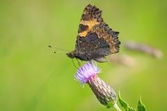 Mały tortoiseshell motyl, Aglais urticae, karmi Zdjęcia Royalty Free