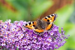 Mały Tortoiseshell motyl na Buddleia kwiacie Obrazy Royalty Free