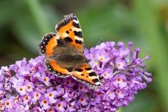 Mały Tortoiseshell motyl na Buddleia kwiacie Zdjęcie Stock