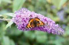 Mały Tortoiseshell motyl na Buddleia kwiacie Obrazy Stock