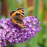 Mały Tortoiseshell motyl na Buddleia kwiacie Zdjęcie Royalty Free