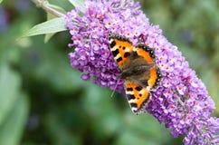 Mały Tortoiseshell motyl na Buddleia kwiacie Zdjęcia Stock