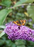 Mały Tortoiseshell motyl na Buddleia kwiacie Zdjęcia Royalty Free