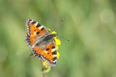 Mały tortoiseshell motyla odgórny widok Fotografia Stock