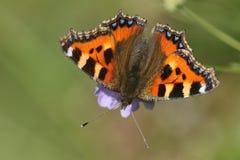 Mały Tortoishell motyl & x28; Aglais urticae& x29; Zdjęcia Stock