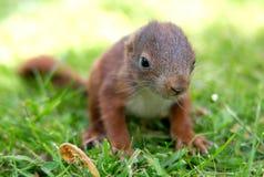 Mały wiewiórczy dziecko Zdjęcie Stock