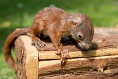Mały wiewiórczy dziecko Zdjęcia Stock