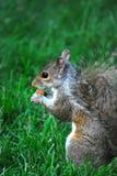 Mały wiewiórczy obsiadanie w trawie w ogródzie botanicznym obrazy stock