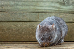 Mały Wombat Australia Obraz Royalty Free