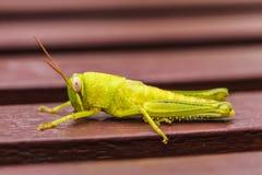 Mały zielony pasikonik siedzi na barach fotografia royalty free