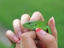 mała zielona jaszczurka Zdjęcie Stock