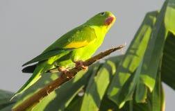 Mała zielona kolorowa papuga w dzikiej naturze Fotografia Royalty Free