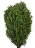 Mała zielona tuja na bielu Obraz Royalty Free