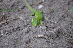 mała zielona zmielona jaszczurka Obraz Royalty Free