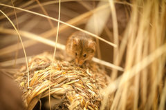 Mała mysz Zdjęcie Royalty Free