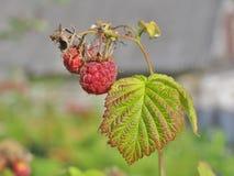 Mała smakowita malinka z zielonym liściem na gałąź Fotografia Stock