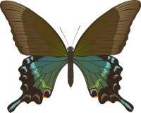 Maackii de Papilio Fotografia de Stock