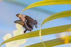 Maackii de Papilio de la mariposa Foto de archivo