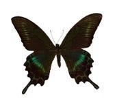 maacks motyli swallowtail Obrazy Royalty Free