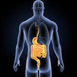 Maag en darm met organen latere mening stock illustratie