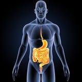 Maag en darm met organen voorafgaande mening stock illustratie