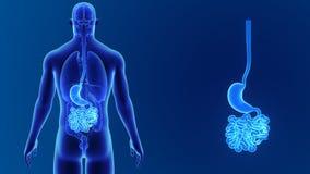 Maag en dunne darmgezoem met organen vector illustratie